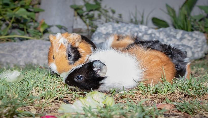 Can Guinea Pigs Eat Asparagus Ends