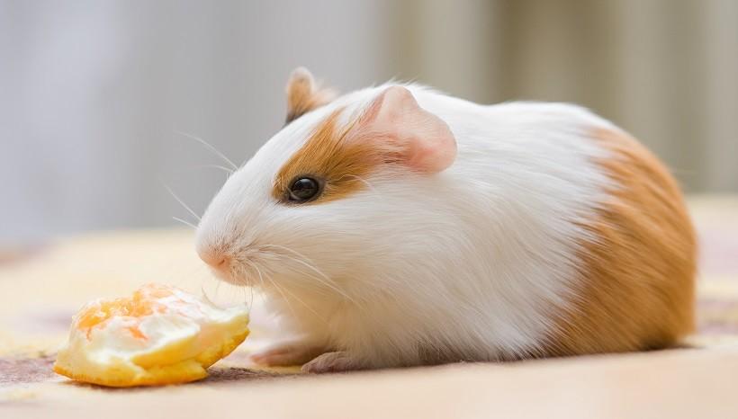 Can Guinea Pigs Eat Orange Peel Safely