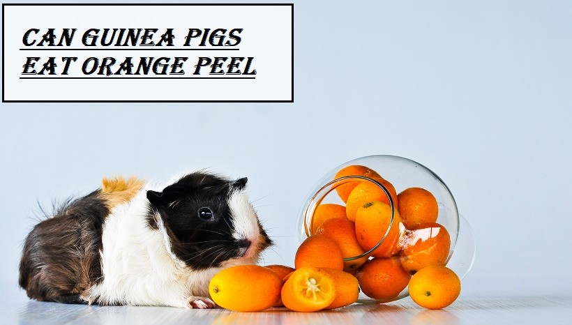 Can Guinea Pigs Eat Orange Peel