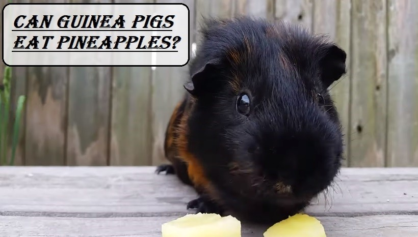 Can Guinea Pigs Eat Pineapples