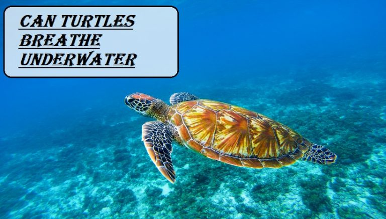 Can Turtles Breathe Underwater