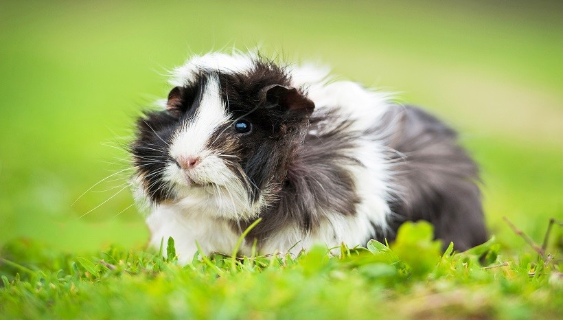 Do Guinea Pigs Need Light At Night