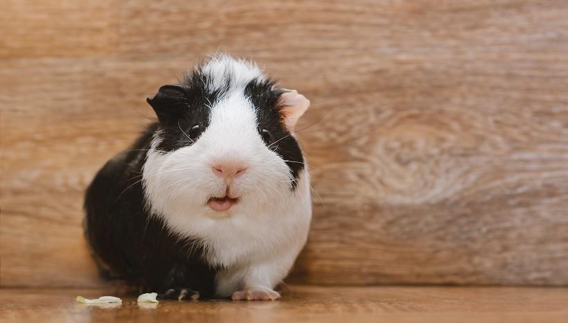 Do Guinea Pigs Sleep With Their Eyes Closed