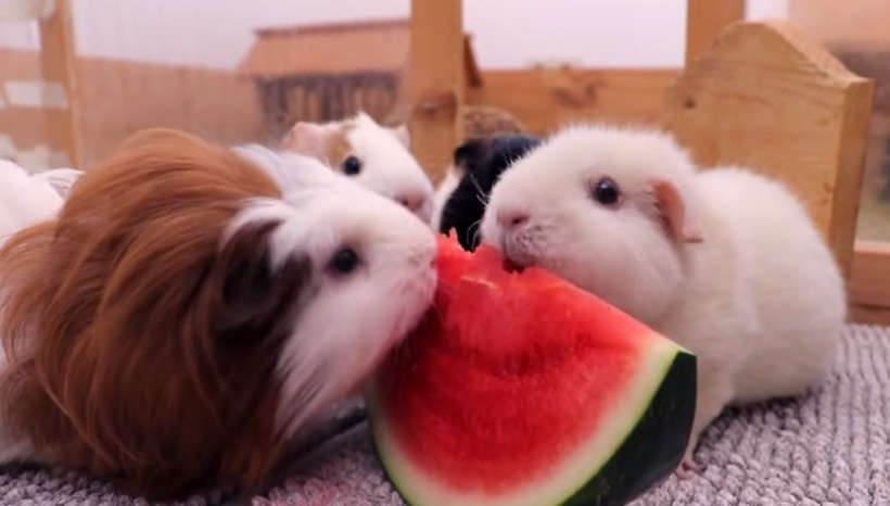 Can American Guinea Pigs Eat Watermelon