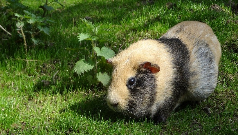 Can Guinea Pigs Eat Cooked Parsnips