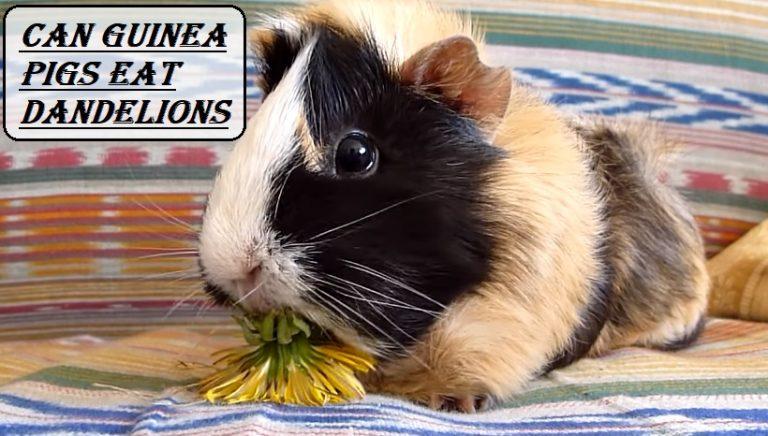 Can Guinea Pigs Eat Dandelions