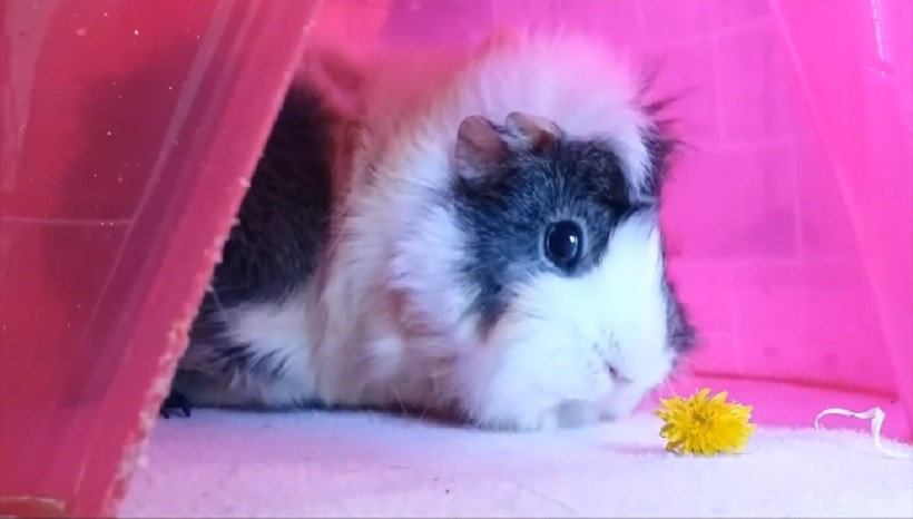 Can Guinea Pigs Eat Dandelions Every day
