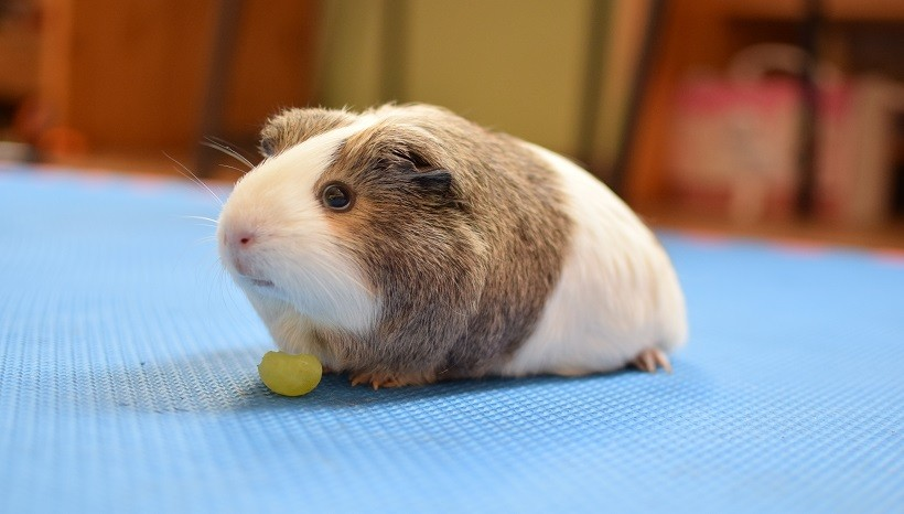 Can Guinea Pigs Eat Grape Skin