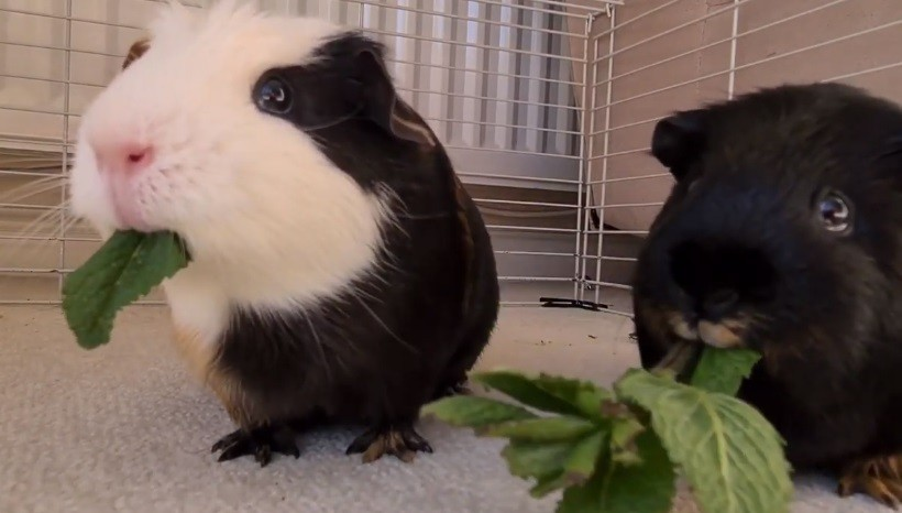 Can Guinea Pigs Eat Mint Leaves