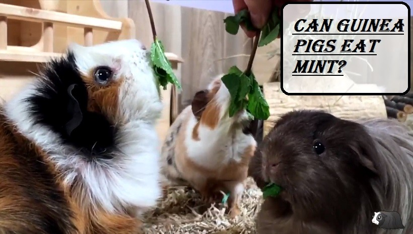 Can Guinea Pigs Eat Mint