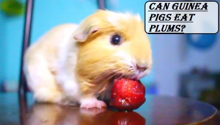 Can Guinea Pigs Eat Plums