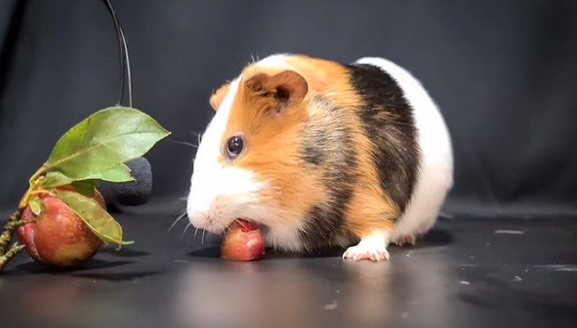 Can Guinea Pigs Eat Plums Every Day
