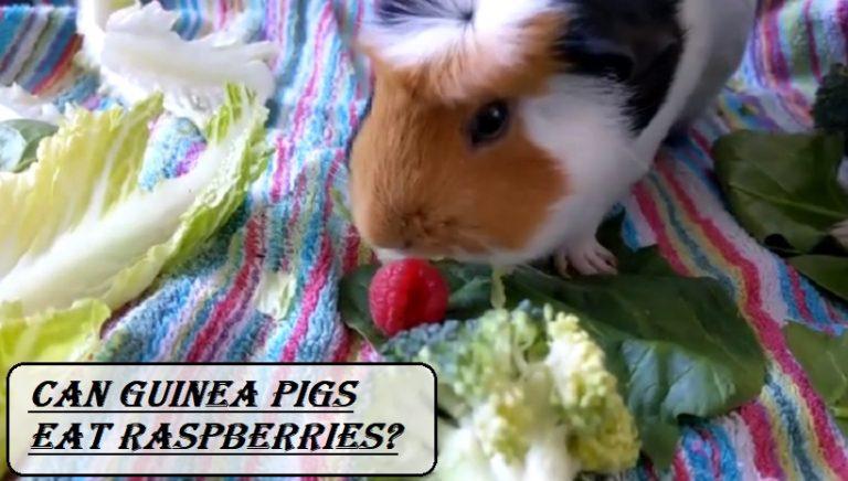 Can Guinea Pigs Eat Raspberries