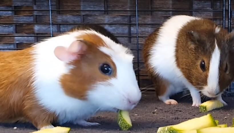 Can Guinea Pigs Eat Raw Zucchini