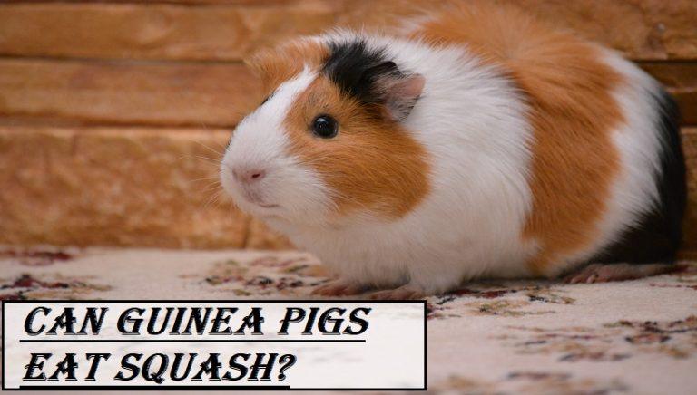 Can Guinea Pigs Eat Squash