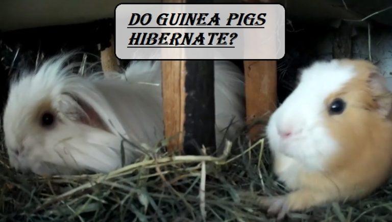 Do Guinea Pigs Hibernate