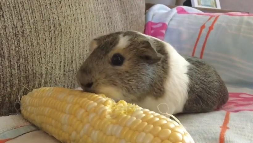 Do Guinea Pigs Like Corn