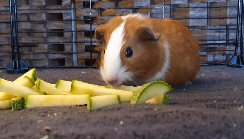 Do Guinea Pigs Like Zucchini
