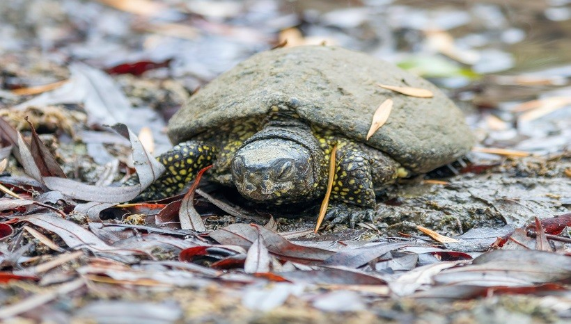 Do Pet Turtles Hibernate