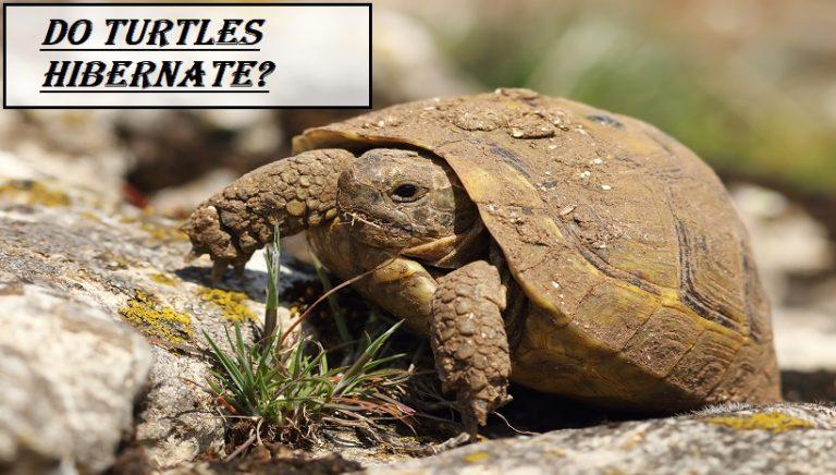 Do Turtles Hibernate
